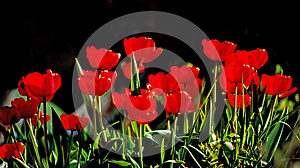 Beautiful Red Tulips Against Dark Backgroung Stock Photo - Image: 25050490