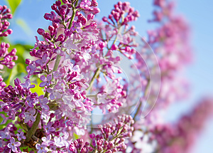Spring Lilac Flowers Stock Image - Image: 25050501