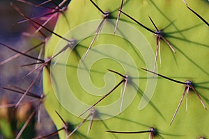 Prickly Pear Cactus Royalty Free Stock Photography - Image: 25058927