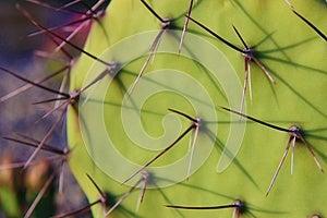 Kaktusfeige-Kaktus Lizenzfreie Stockfotografie - Bild: 25058927
