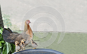 The Hen And Three Chicks. Stock Photography - Image: 25060292