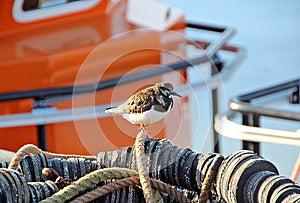 Turnstone Bird In Fishing Harbour Stock Photo - Image: 25064410