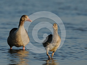 Baby Goose With Mother Goose Royalty Free Stock Photos - Image: 25095238