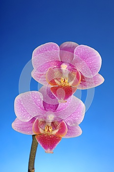 Pink Orchid Flowers Over Blue Royalty Free Stock Image - Image: 25110966