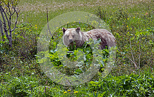 Grizzly Bear Feeding On Cowslip Royalty Free Stock Photos - Image: 25140338