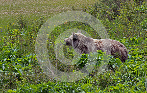 Grizzly Bear Heading For The Beach Royalty Free Stock Image - Image: 25140586