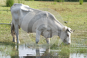 White Cow Stock Photography - Image: 25146512