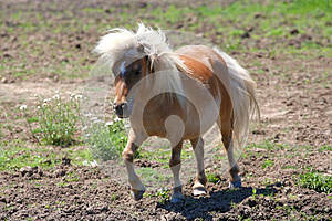 Miniature Horse Stock Photography - Image: 25146772