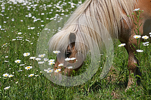 Miniature Horse Stock Photo - Image: 25146830