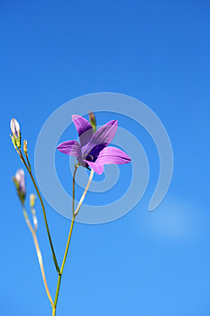 Campanula On Sky Royalty Free Stock Photos - Image: 25153468