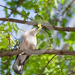 Jay Bird Stock Images - Image: 25160574