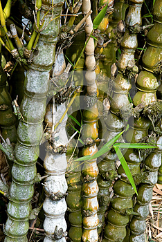 Bamboo Tree Forest Stock Photo - Image: 25171940