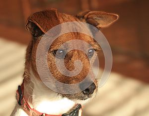 Dog, Jack Russell/Fox Terrier Cross Stock Photo - Image: 25178600