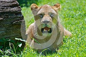 Panting Lion Royalty Free Stock Photo - Image: 25178745