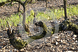 Grapevine With Fresh Sprigs. Royalty Free Stock Photography - Image: 25184627