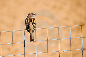 Sparrow On The Fence Stock Photos - Image: 2520433