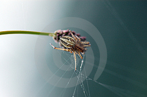 Spider And Spider Web Royalty Free Stock Photos - Image: 2523128