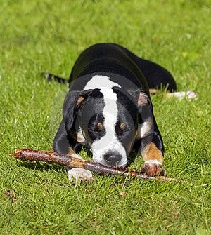 Giovane cane Fotografia Stock