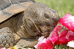 Tortoise With Rose Petals Royalty Free Stock Photography - Image: 2528777