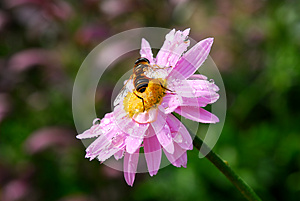 Bee Royalty Free Stock Photography - Image: 25210637