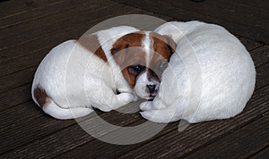 Jack Russel Puppies Royalty Free Stock Image - Image: 25216926