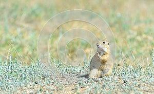 Prairie Dog Royalty Free Stock Images - Image: 25239759