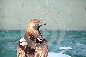 Imperial Eagle Stock Photo - Image: 25255920