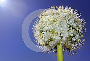 Flower In The Form Of A Ball Royalty Free Stock Images - Image: 25267539
