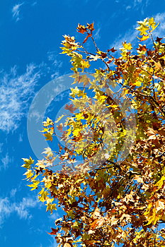 Sycamore Stock Photography - Image: 25279102