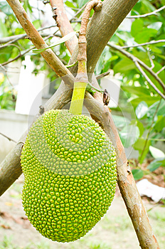 Jackfruit Hanging Stock Photography - Image: 25284262