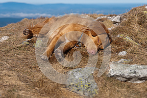 Sleeping Nova Scotia Retriever Royalty Free Stock Image - Image: 25286246
