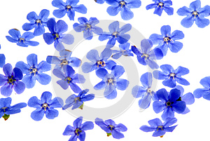 Forget Me Not Stock Photography - Image: 25315572