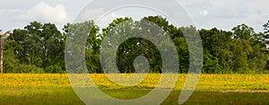 Pole Żółci Kwiaty Fotografia Stock - Obraz: 25319052