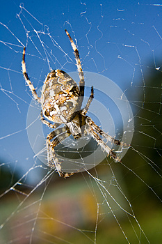 Cross Spider Stock Photo - Image: 25323400