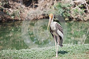 Painted Stork Stock Photos - Image: 25345513