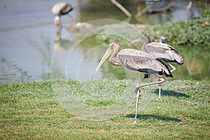 Painted Stork Royalty Free Stock Photos - Image: 25345538