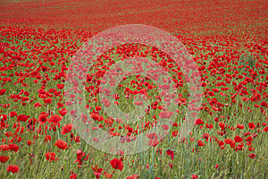 Poppies On A Field Royalty Free Stock Photo - Image: 25346095
