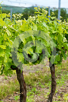 Grapes Stock Image - Image: 25353031