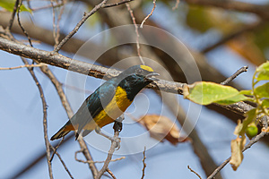 Spot-crowned Euphonia Royalty Free Stock Photography - Image: 25353537