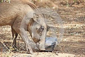 Warthog Feeding On Human Litter Stock Photo - Image: 25356960