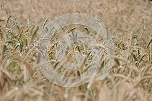 Backgroung From A Wheaten Field, DOF Middle Royalty Free Stock Photo - Image: 25361155