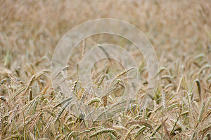 Backgroung From A Wheaten Field, Small Focus Stock Photo - Image: 25361180
