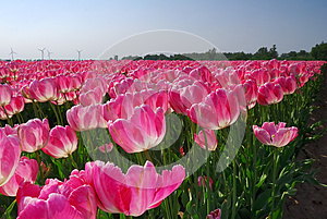 Sea Of Pink Tulips Royalty Free Stock Photography - Image: 25363677