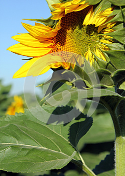 Opening Sunflower Royalty Free Stock Photo - Image: 25378975