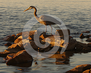 Great Blue Heron Royalty Free Stock Images - Image: 25379099