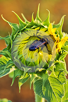 Bettle Bug In A Sunflower Stock Image - Image: 25383831