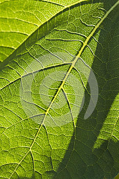 Close-up Of A Leaf Royalty Free Stock Photo - Image: 25384115