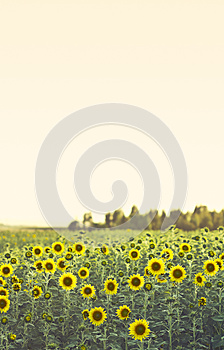 Field Of Sunflowers Royalty Free Stock Images - Image: 25384159