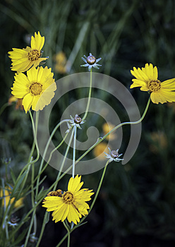 Wild Crysanthemums Royalty Free Stock Photos - Image: 25387218