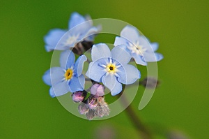 Forget-me-not Royalty Free Stock Photography - Image: 25389627